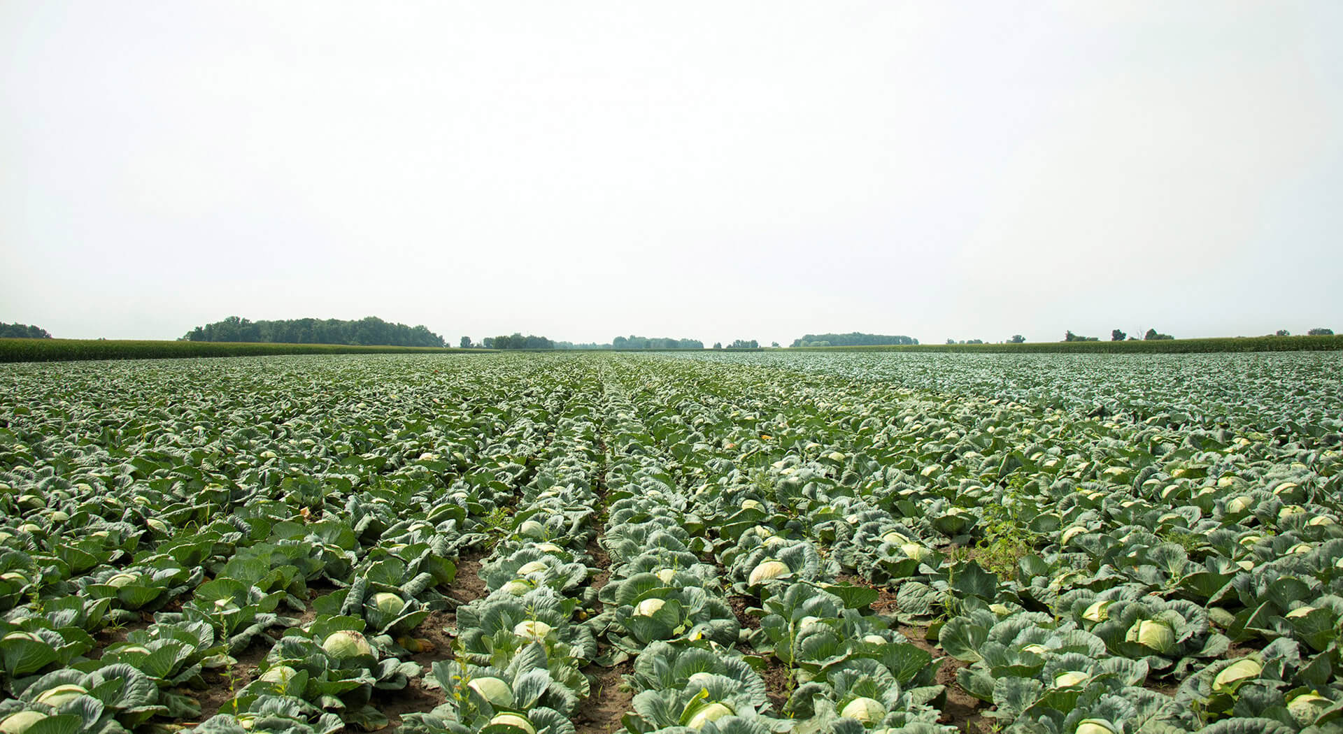cabbage_field-slider-image